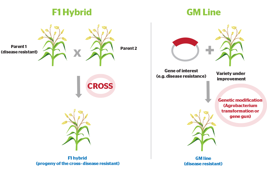 What-is-the-difference-between-an-F1-hybrid-and-a-GM-plant-